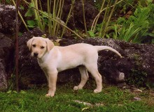 Labrador Puppy - Boarding Services, Training Services in Clyde Township, MI