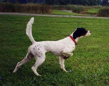 Pointing Dog - Boarding Services, Training Services in Clyde Township, MI